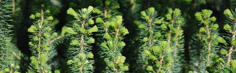 Jeunes plants d'épinette de Norvège