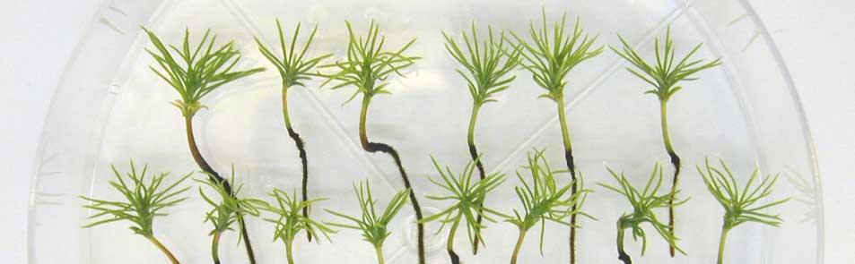 Jeunes plants d'épinettes